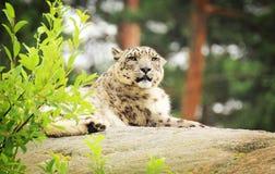 Snow leopard Stock Image