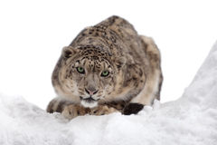Snow leopard. On ice partly isolated royalty free stock images