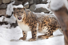 Snow leopard. Stand on snow royalty free stock photo