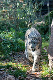 Snow leopard stock images