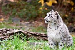 Free Snow Leopard Stock Photos - 34995143