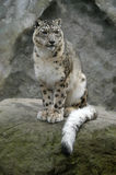 Snow Leopard. A snow Leopard (Uncia uncia) at Jihlava Zoo in Eastern Bohemia, Czech Republic Stock Photos