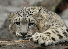 Snow Leopard. A snow Leopard (Uncia uncia) at Jihlava Zoo in Eastern Bohemia, Czech Republic stock images