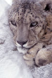 Snow Leopard. Portrait of a snow leopard curled up in a snow drift in a zoo royalty free stock photography