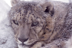 Snow Leopard. Portrait of a snow leopard curled up in a snow drift in a zoo stock image