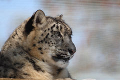 Snow leopard. The snow leopard is thinking Royalty Free Stock Image