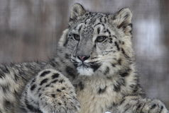 Snow leopard. This Snow leopard is taking his rest royalty free stock images