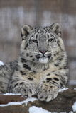 Snow leopard. This little snow leopard is sitting properly royalty free stock images