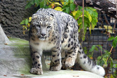Snow Leopard. The Snow Leopard from Moscow Zoo Royalty Free Stock Photos
