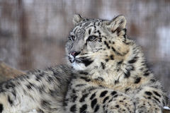 Snow leopard. This little snow leopard  is staring at something Stock Photography