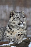 Snow leopard. This little snow leopard is sitting on the rock Stock Images