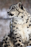 Snow leopard. This snow leopard is waiting for somebody royalty free stock images