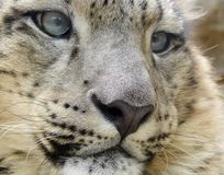 Snow leopard. Closeup of snow Leopard (Uncia uncia) at Jihlava Zoo in Eastern Bohemia, Czech Republic royalty free stock photo