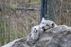 Snow Leopard. Baby Snow Leopard laying on rock Stock Image