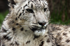 Snow Leopard. An Endangered Snow Leopard closeup Stock Image