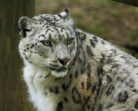 Snow Leopard. Close up image of Snow Leopard Stock Images