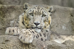 Snow Leopard Stock Image