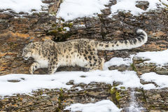 Free Snow Leopard Royalty Free Stock Photos - 64052938