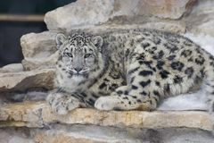 Snow leopard. A snow leopard on a pile of rocks royalty free stock image