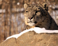 Snow Leopard. A portrait of a snow leopard in winter Royalty Free Stock Photography