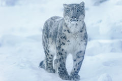 Free Snow Leopard Royalty Free Stock Photography - 84383347