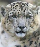 Snow leopard. Face close up Royalty Free Stock Photos