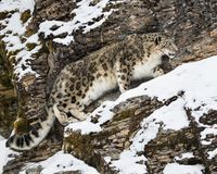 Snow Leopard Adult. This photo was created in February 2018 in Montana ,USA royalty free stock photography