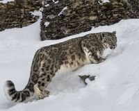 Snow Leopard Adult. This photo was created in February 2018 in Montana ,USA royalty free stock images
