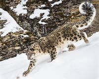 Snow Leopard Adult. This photo was created in February 2018 in Montana ,USA stock photography