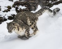Snow Leopard Adult. This photo was created in February 2018 in Montana ,USA royalty free stock image