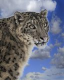 Snow Leopard Adult. On a hill with the sky behind her. This photo was created in February 2018 in Montana ,USA stock photos