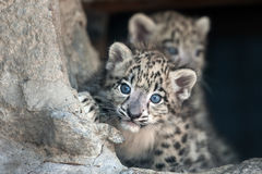 Snow leopard baby Stock Images