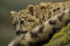 Snow Leopard Baby (Uncia uncia) royalty free stock photography