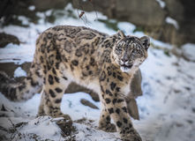 Snow Leopard. Beautiful Snow Leopard on a snow covered rocks Royalty Free Stock Image