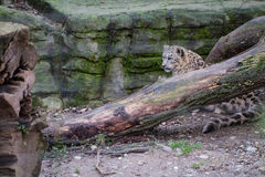 Snow leopard behing a branch of a tree. A snow leopard sitting behind the branch of a tree Royalty Free Stock Photography