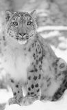 Snow leopard in black and white. On blur background Stock Photo