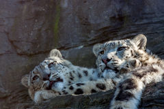 Snow Leopard Brothers. Laying in the sun Stock Image