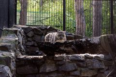 Snow leopard in a cage stands stock photo