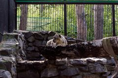 Snow leopard in a cage stands stock photography