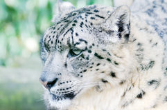 Snow Leopard Camouflage. Snow leopard closeup stalking its prey in wildnerness Royalty Free Stock Images