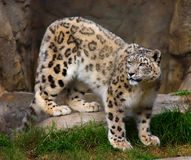 Snow leopard in captivity Stock Photos
