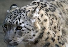Snow Leopard, Close, Profile, Cat Stock Photo