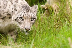 Snow Leopard Close Up Stock Image