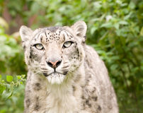 Snow Leopard Close Up Stock Photo