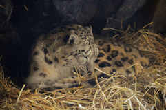 Snow Leopard. Close up of a snow leopard royalty free stock photography
