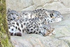 Snow leopard close up portrait Stock Photos