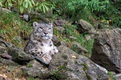 Snow leopard close up portrait Stock Image