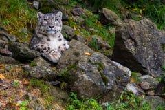 Snow leopard close up portrait Stock Images
