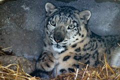 Snow leopard close up portrait Royalty Free Stock Images