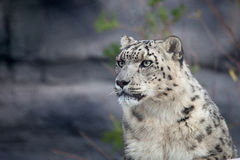 Snow leopard. Close up shot of snow leopard portrait Royalty Free Stock Photos
